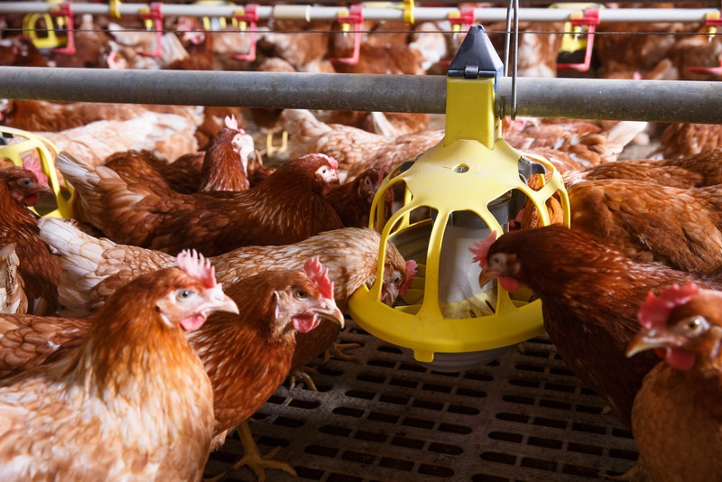Automatic Hen Feeders | Poutry Farming