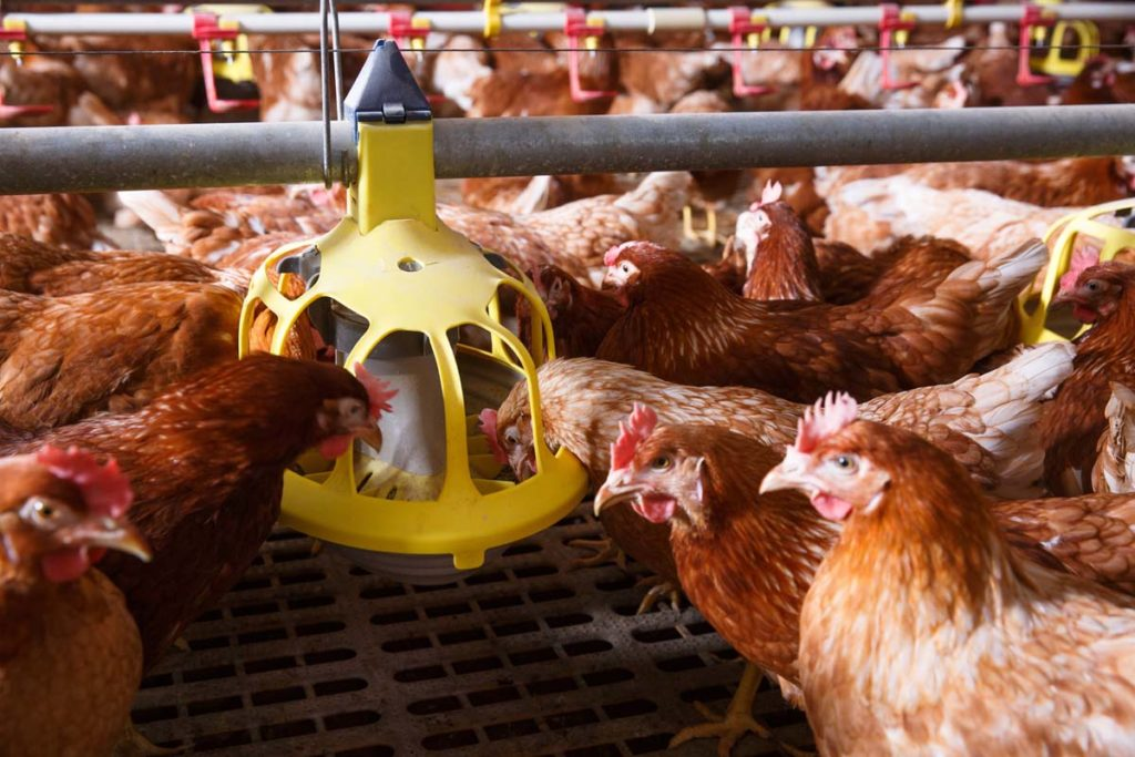 automatic chick feeder
