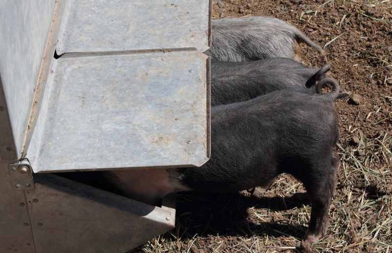 Best Automatic Feeder for pigs   Gravity-assisted feeders