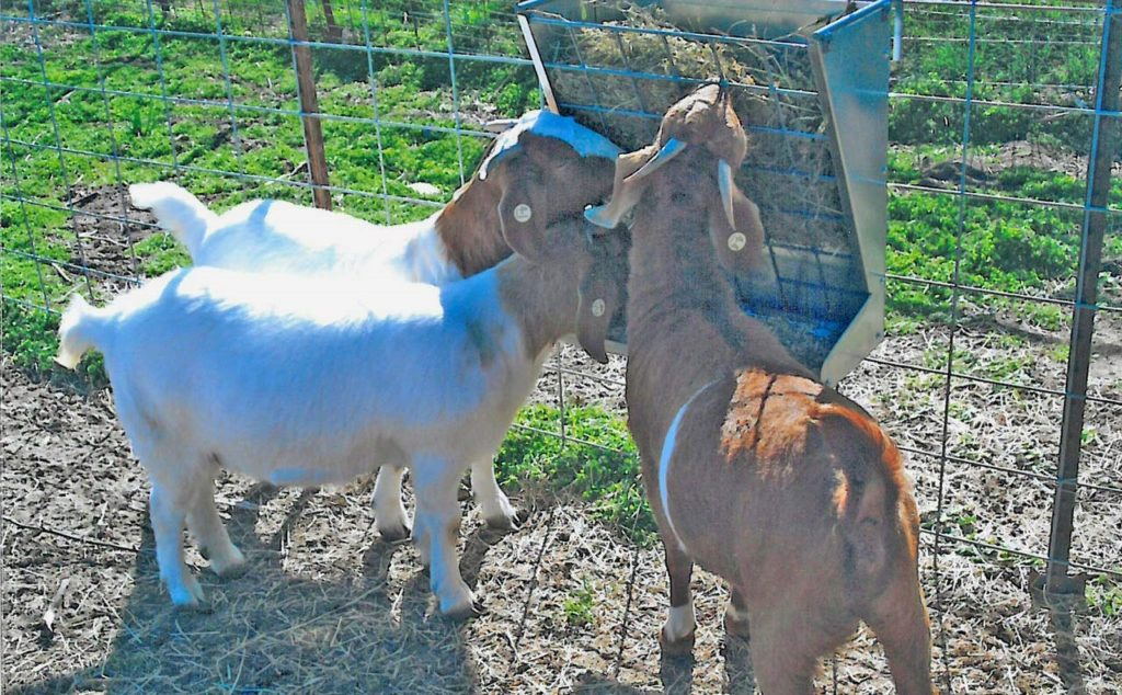 automatic feeder for goats | Gravity Assisted
