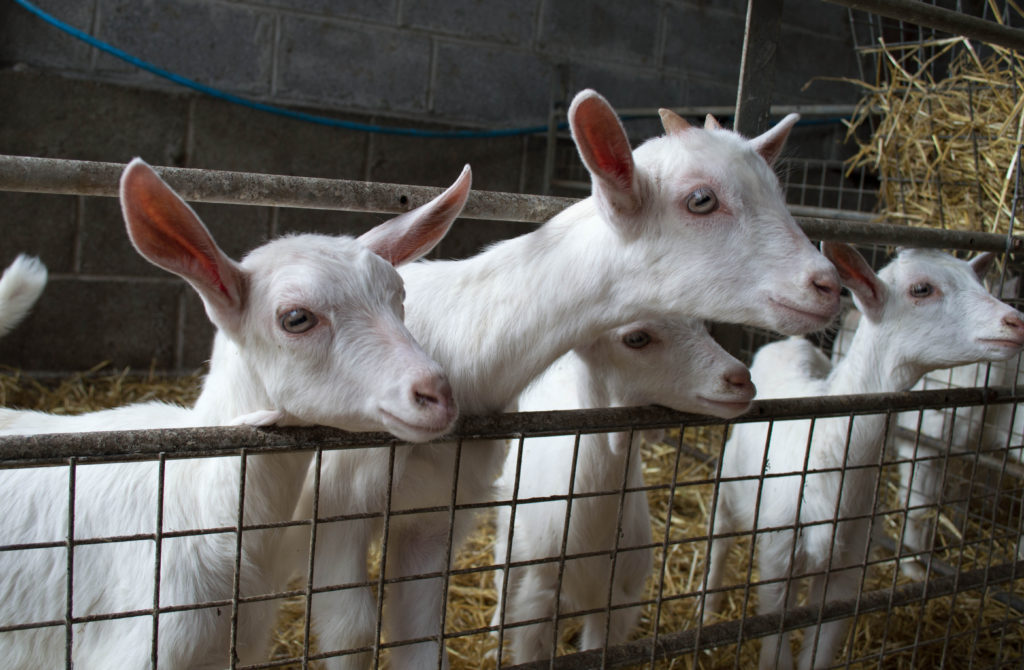 select waterer for goats